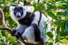 Getrumpfter Schwarzweiss-lemur lizenzfreies stockbild