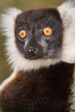 Getrumpfter Schwarzweiss-lemur stockfotos