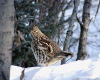 Getrumpftes Waldhuhn im Winterschnee stockbild