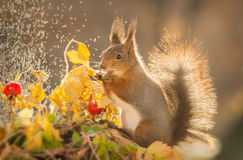 When it gets splashy. Red squirrel standing with brier and leaves with splashing water in sunlight Stock Photo