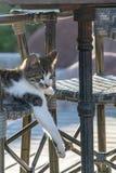 Gett upp tafsar lägger benen på ryggen spela för strimmig kattkatt kattungen och vänstert rätt och att hänga av stol arkivfoton
