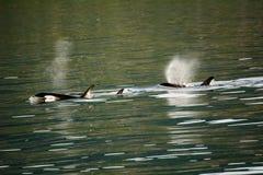 Gettare delle balene dell'orca Fotografia Stock