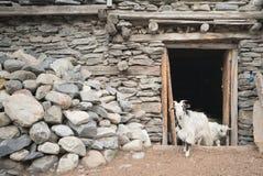 Getter i den Nepal byn, landskap i den Annapurna strömkretsen som trekking Fotografering för Bildbyråer