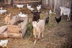 Getter i gårdsplanen Royaltyfri Fotografi