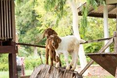 Getter i lantgården i Thailand Royaltyfria Bilder