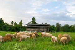 Getter och får som äter på änggräs i lantgård Arkivfoto