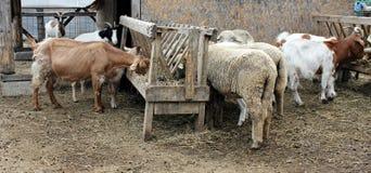 Getter och sheeps som äter hö Arkivbild