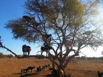 Getter på ett träd i africa Royaltyfri Fotografi