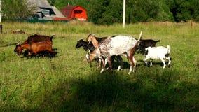 Getter samlas att gå på grön äng på nötkreaturlantgården Get och goatling på lantgård arkivfilmer