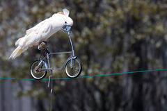 Getting Around. Umbrella Cockatoo riding a bike in a parrot show Royalty Free Stock Images