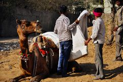 Getting a camel ready in Pushkar, India. royalty free stock image