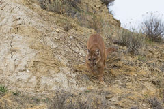 Getting close to prey. Mountain lion Getting close to prey Stock Images
