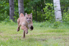 Getting closer. Mountain lion running at full steam stock photos
