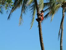 Getting dinner. Tree climber, Hawaii Stock Images