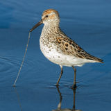 Getting Dinner the hard way. Western Sandpiper (Calidris mauri) captures a marine worm. Washington Coast. USA Royalty Free Stock Images