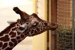 Getting food. A photo of a Giraffe stock photo