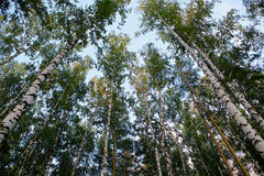 Getting high. Silver birches and pine-trees leads up to the sky in a park at Yekaterinburg city, Russia, summer evening, sunset time Royalty Free Stock Photos