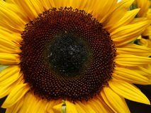Getting personal with a beautiful yellow sunflower royalty free stock photo