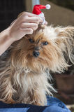 Getting ready for christmas. A girl combing her dog for Christmas Royalty Free Stock Photography