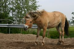 Getting rid of the sand. A horse in the paddock after some rolling, trying to get the sand out of it's coat Stock Photo