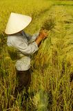 Getting sheaves of rice ears. The man assembles into small bundles of the corn and rice will be transported to the threshing machine that is down the road. The Royalty Free Stock Photography