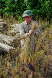 Getting sheaves of rice ears. The man assembles into small bundles of the corn and rice will be transported to the threshing machine that is down the road. The Royalty Free Stock Images