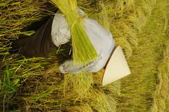 Getting sheaves of rice ears Stock Photos