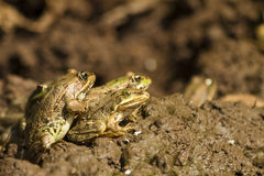 Getting together - A group of frogs gathering Royalty Free Stock Photo