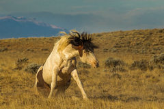 Getting Up. Wild Mustang Getting Up After Rolling On Its Back, McCullough Peaks Wild Horse Herd Management Area, Wyoming Royalty Free Stock Photos