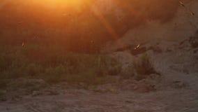 Getue schluckt Fliegen um Nester bei Sonnenuntergang stock video