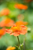Geum. Beautiful red flowers Royalty Free Stock Photos