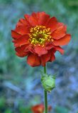 Geum Chiloense Royalty Free Stock Images