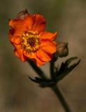 Geum Chiloense del fiore di Bennet Fotografia Stock