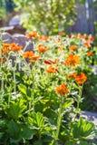 Geum di fioritura un giorno di molla soleggiato Fotografia Stock Libera da Diritti