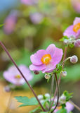 Geum quellyon flower Royalty Free Stock Images