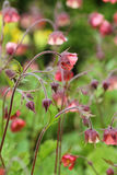 Geum rivale Royalty Free Stock Photos
