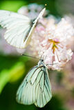 Geurige lilac bloesems en vlinder Stock Afbeelding