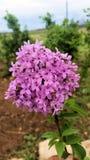 Geurige lilac bloesems vulgaris Syringa stock afbeeldingen