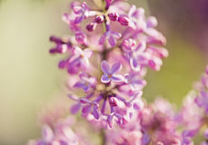 Geurige lilac bloesems (vulgaris Syringa). Royalty-vrije Stock Afbeelding