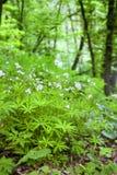 Geurige odoratum die van walstrogalium in de lentebos bloeien stock afbeeldingen
