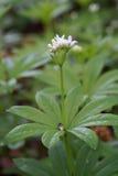 Geurige odoratum van walstrogalium Royalty-vrije Stock Foto's