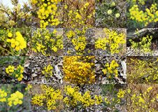 Geurige pluizige gele acacia's van Bochtig Beeknatuurreservaat Dardanup westelijk Australië in de lente. royalty-vrije stock foto's