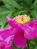 Geurige roze Pioenflowerpetals met heldere gele meeldraad Royalty-vrije Stock Fotografie