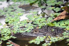 Gevaar! Een Amerikaanse Alligator zwemt langs stock foto's