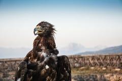 Gevaarlijk het portrethoofd van Eagle Royalty-vrije Stock Afbeelding