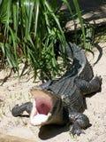 Gevaarlijke alligator Stock Foto