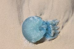 Gevaarlijke blauwe die kwallen met schuim worden behandeld omhoog op het strand wordt gewassen Stock Afbeeldingen