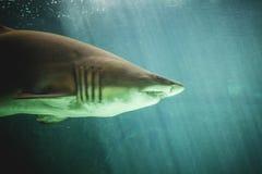Gevaarlijke en reusachtige haai die onder overzees zwemmen Stock Foto