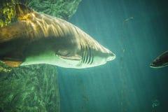 Gevaarlijke en reusachtige haai die onder overzees zwemmen Royalty-vrije Stock Afbeeldingen