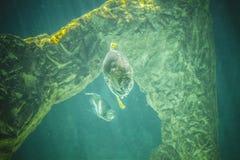 Gevaarlijke en reusachtige haai die onder overzees zwemmen Stock Foto's